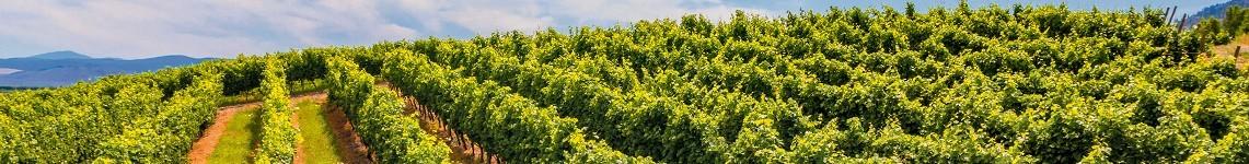 Vin du Sud-Ouest AOC - Rouge et Blanc Moelleux - Vente de Vin en ligne - Viniphile